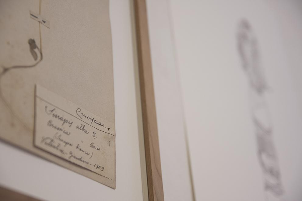 Andrea Guerzoni, Foglio di Erbario primi del '900 (dettaglio), cm 40x30 circa